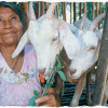 Heifer International woman with goats